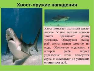 Хвост-оружие нападения Хвост помогает охотиться акуле-лисице. У нее верхняя л