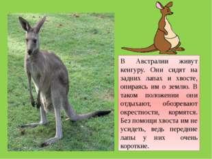 В Австралии живут кенгуру. Они сидят на задних лапах и хвосте, опираясь им о