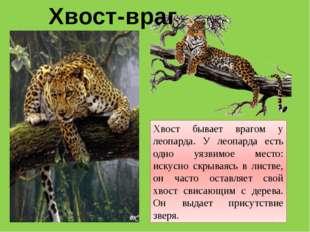 Хвост бывает врагом у леопарда. У леопарда есть одно уязвимое место: искусно