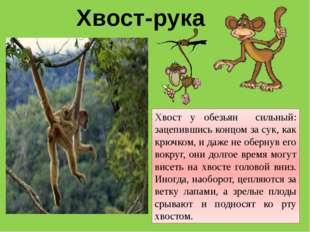 Хвост-рука Хвост у обезьян сильный: зацепившись концом за сук, как крючком, и