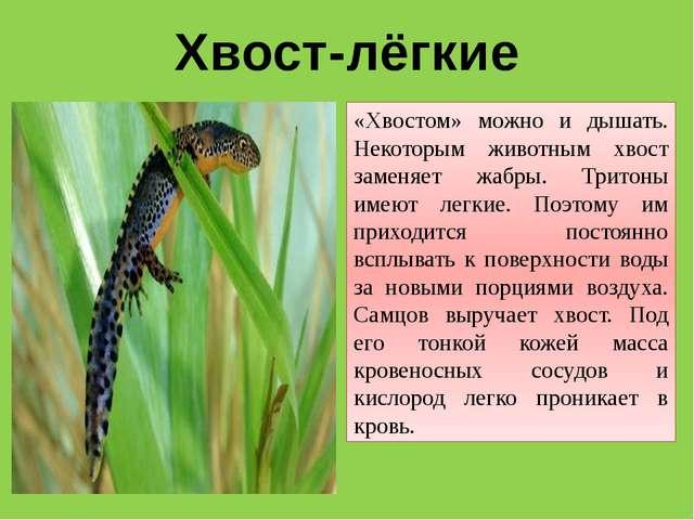 Хвост-лёгкие «Хвостом» можно и дышать. Некоторым животным хвост заменяет жабр...