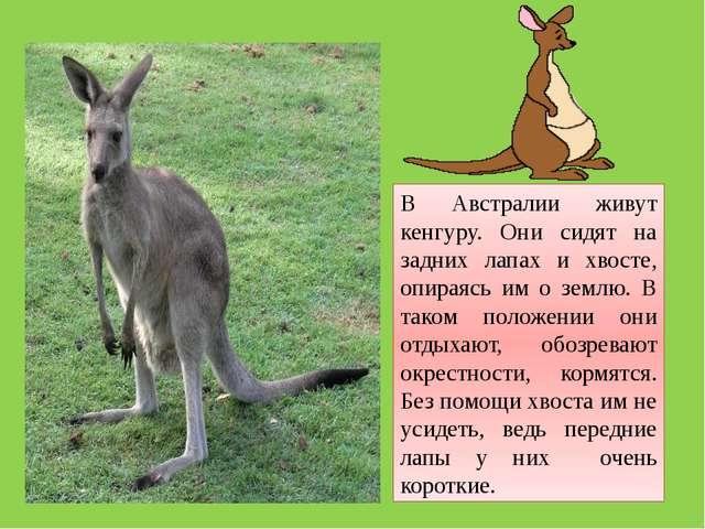 В Австралии живут кенгуру. Они сидят на задних лапах и хвосте, опираясь им о...