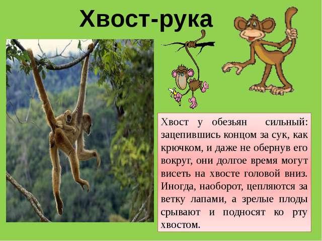 Хвост-рука Хвост у обезьян сильный: зацепившись концом за сук, как крючком, и...