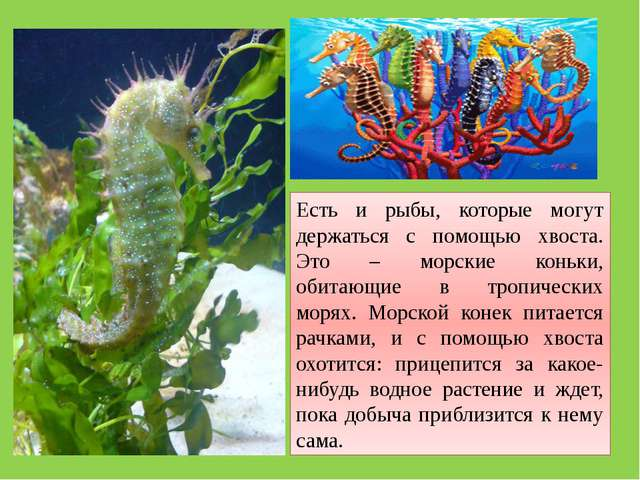 Есть и рыбы, которые могут держаться с помощью хвоста. Это – морские коньки,...
