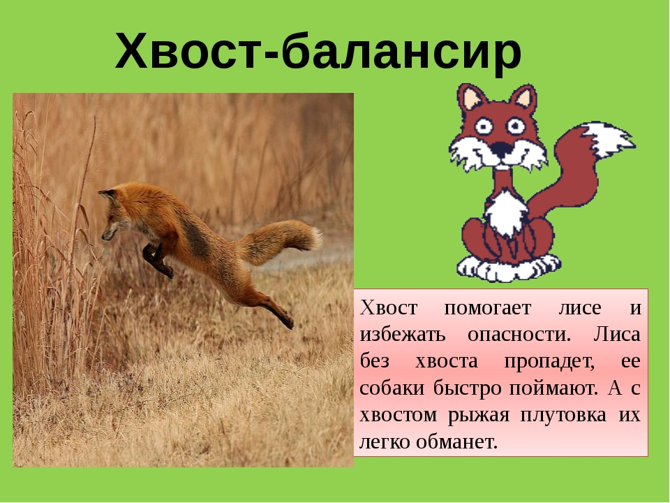Хвост-балансир Хвост помогает лисе и избежать опасности. Лиса без хвоста проп...