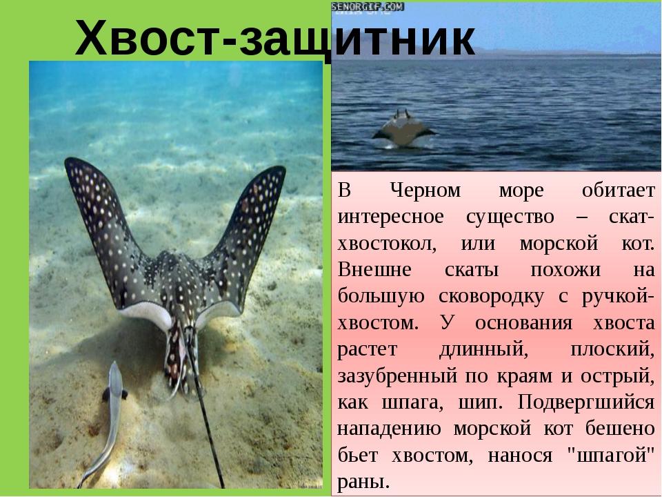 Хвост-защитник В Черном море обитает интересное существо – скат-хвостокол, ил...