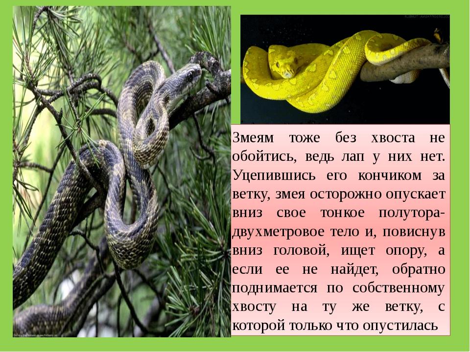 Змеям тоже без хвоста не обойтись, ведь лап у них нет. Уцепившись его кончико...