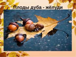 Плоды дуба - жёлуди