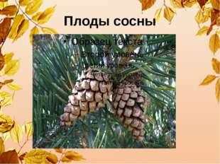 Плоды сосны