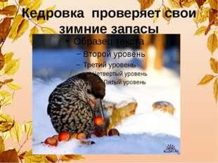 Кедровка проверяет свои зимние запасы
