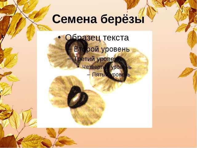 Семена берёзы