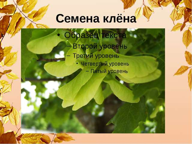 Семена клёна
