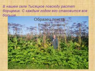 В нашем селе Тысяцкое повсюду растет борщевик. С каждым годом его становится