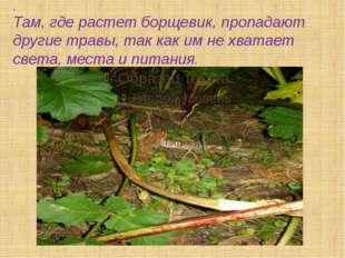 . Там, где растет борщевик, пропадают другие травы, так как им не хватает све