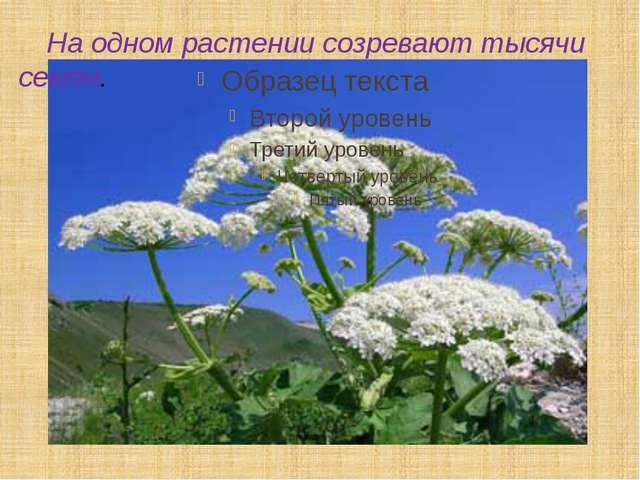 На одном растении созревают тысячи семян.