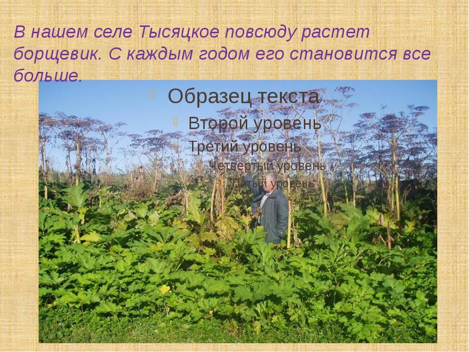 В нашем селе Тысяцкое повсюду растет борщевик. С каждым годом его становится...