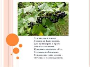 Эти листья и плоды Содержат фитонциды. Для кулинарии и врача Они не заменимы