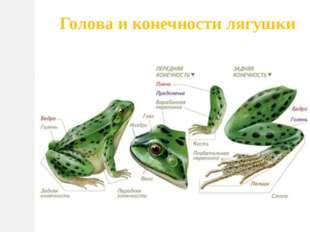 Голова и конечности лягушки