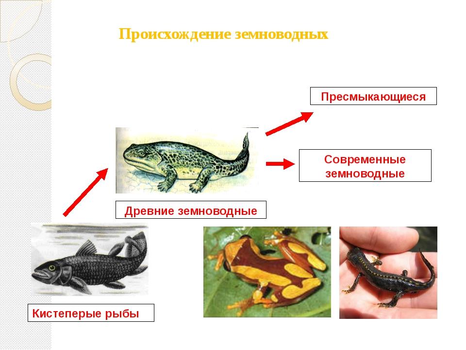 Происхождение земноводных Кистеперые рыбы Древние земноводные Современные зем...