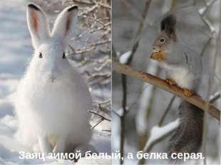 Заяц зимой белый, а белка серая.
