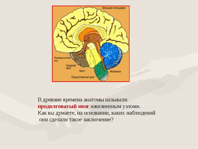 В древние времена анатомы называли продолговатый мозг «жизненным узлом». Как...