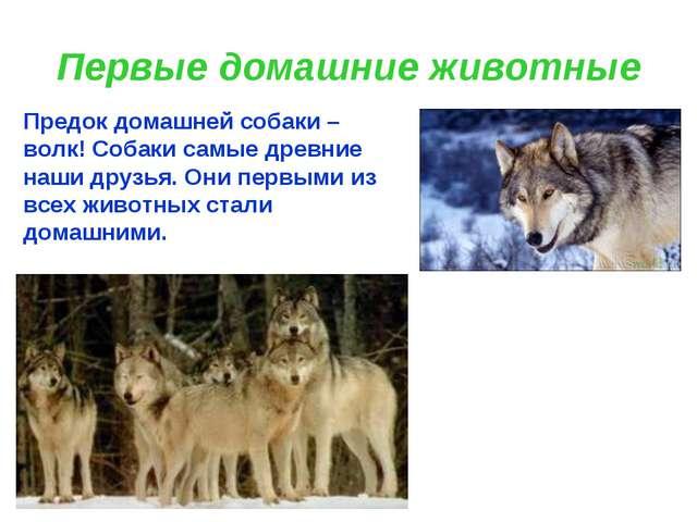 Первые домашние животные Предок домашней собаки – волк! Собаки самые древние...