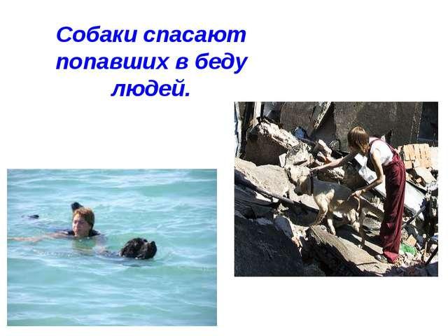 Собаки спасают попавших в беду людей.