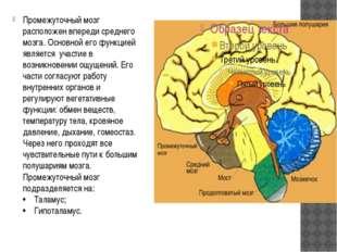 Промежуточный мозг расположен впереди среднего мозга. Основной его функцией