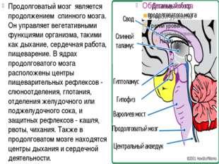 Продолговатый мозг является продолжением спинного мозга. Он управляет веге