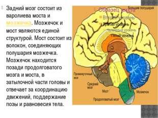 Задний мозг состоит из варолиева моста имозжечка. Мозжечок и мост являются