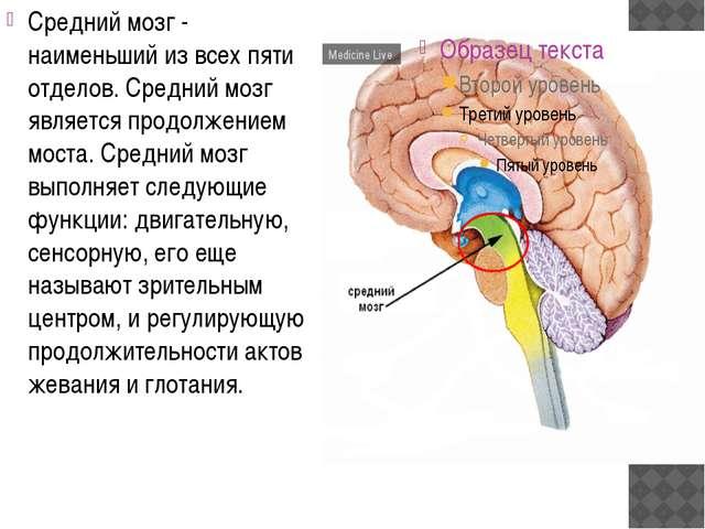 Средний мозг - наименьший из всех пяти отделов. Средний мозг является продол...