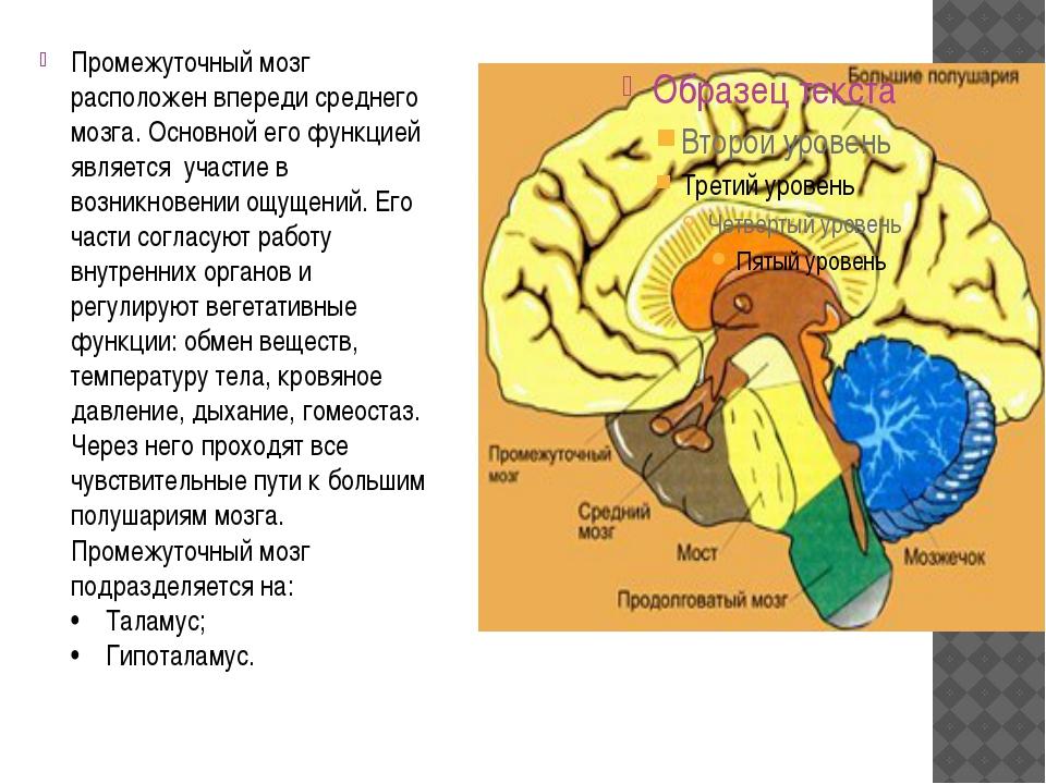 Промежуточный мозг расположен впереди среднего мозга. Основной его функцией...