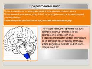 Продолговатый мозг Продолговатый мозг — непосредственное продолжение спинного