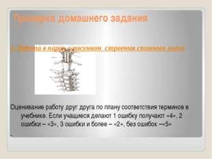 Проверка домашнего задания 1. Работа в парах с рисунком строения спинного моз