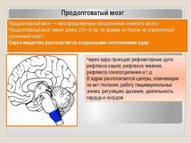 Продолговатый мозг Продолговатый мозг — непосредственное продолжение спинного...