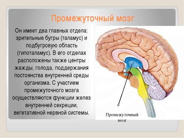 Промежуточный мозг Он имеет два главных отдела: зрительные бугры (таламус) и...