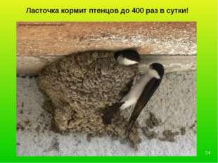 Ласточка кормит птенцов до 400 раз в сутки! *