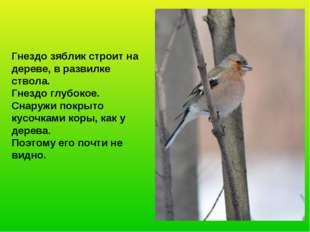 Гнездо зяблик строит на дереве, в развилке ствола. Гнездо глубокое. Снаружи п