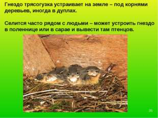 Гнездо трясогузка устраивает на земле – под корнями деревьев, иногда в дуплах