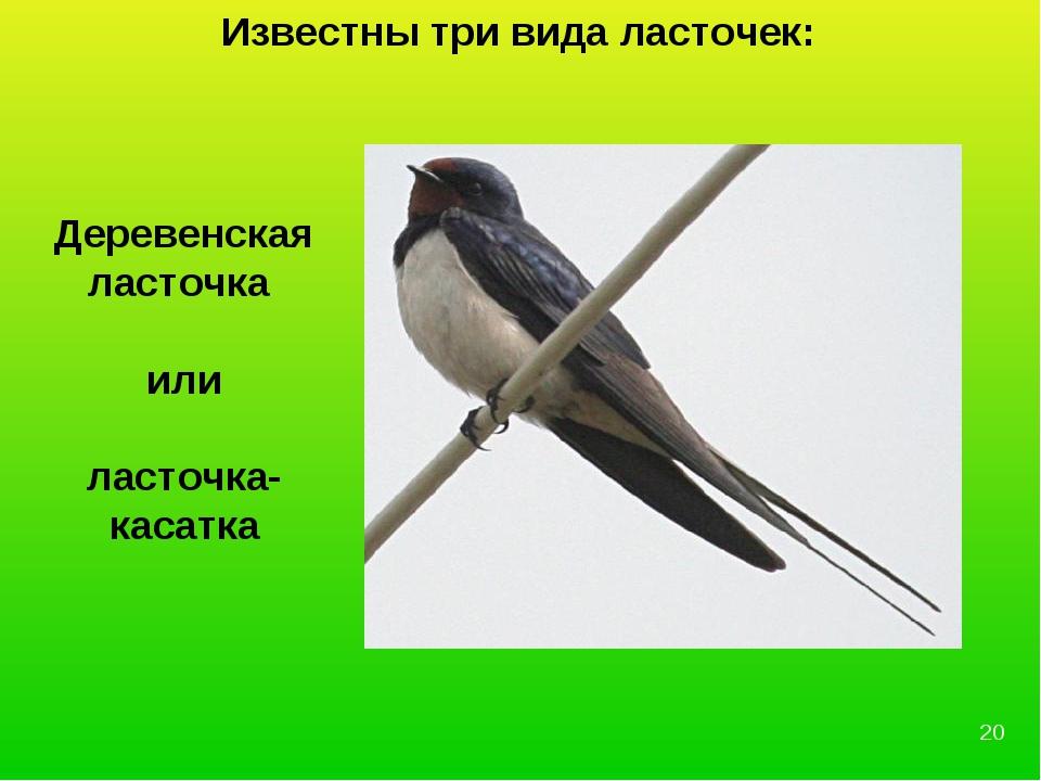 Деревенская ласточка или ласточка-касатка Известны три вида ласточек: *