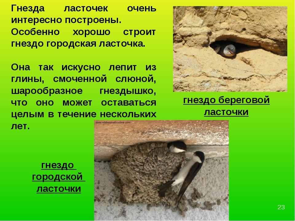 гнездо береговой ласточки гнездо городской ласточки Гнезда ласточек очень инт...