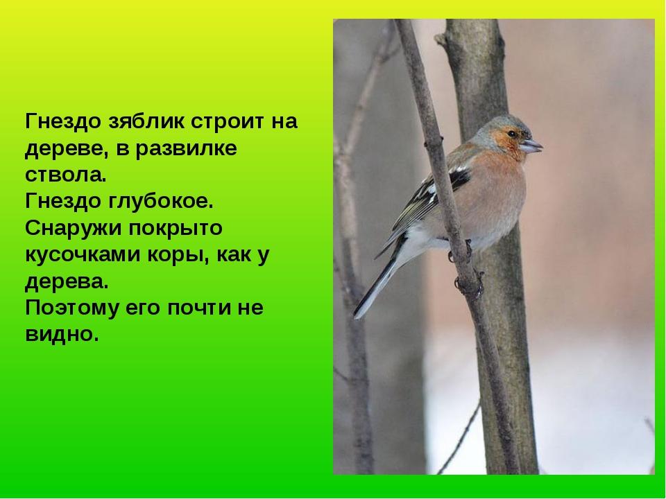 Гнездо зяблик строит на дереве, в развилке ствола. Гнездо глубокое. Снаружи п...