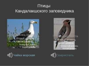Птицы Кандалакшского заповедника Чайка морская Свиристель