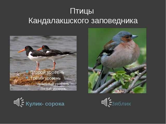 Птицы Кандалакшского заповедника Кулик- сорока Зяблик