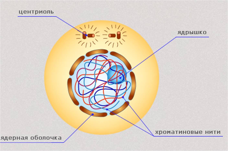 Схема непрямого деления клетки
