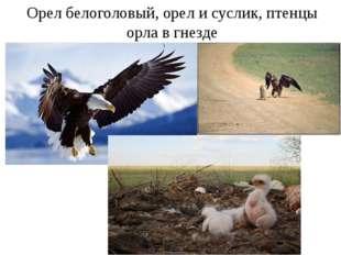 Орел белоголовый, орел и суслик, птенцы орла в гнезде