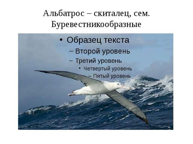 Альбатрос – скиталец, сем. Буревестникообразные
