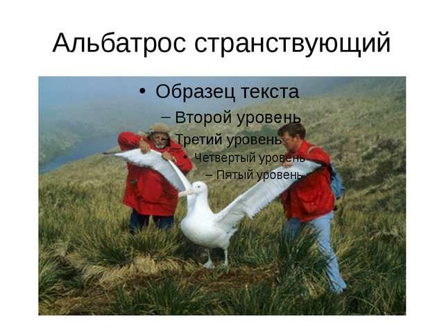 Альбатрос странствующий