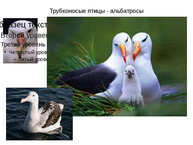 Трубконосые птицы - альбатросы