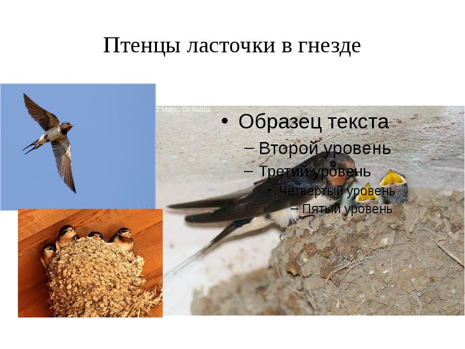 Птенцы ласточки в гнезде